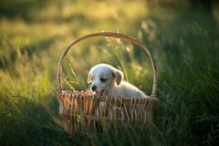 Cute puppy sitting in a wicker basket at sunset in the forest. The concept of friendship, happiness, joy and childhood stock image