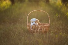 Cute puppy sitting in a wicker basket at sunset in the forest. The concept of friendship, happiness, joy and childhood royalty free stock photo