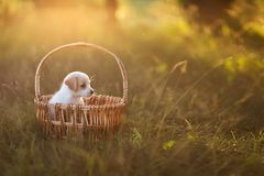 Cute puppy sitting in a wicker basket at sunset in the forest. The concept of friendship, happiness, joy and childhood. Postcard, royalty free stock image