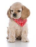 Cute puppy sitting Stock Photography