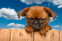 Cute puppy Royalty Free Stock Image