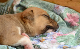 Cute puppy sleeping.animal theme. Image of a cute sleeping puppy .animal theme Royalty Free Stock Photos