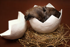 Cute puppy sleeping in the egg Royalty Free Stock Photo