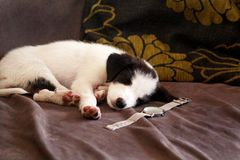 Cute puppy of small black white mixed breed is sleeping in bed at home, close up. Adorable puppies and half breed dog asleep. Cute puppy of small black white stock photo