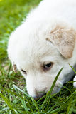 Cute Puppy Smells Grass royalty free stock photography