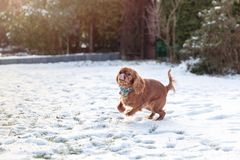 Cute puppy on the snow. Cute playful puppy on the snow, winter background royalty free stock image