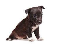 Cute puppy sorrow. Cute not purebred sorrow. Pets need our support and care. The owner search Royalty Free Stock Image