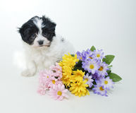 Cute Puppy with Spring Flowers Stock Photo