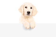 Cute puppy standing behind blank panel Stock Images