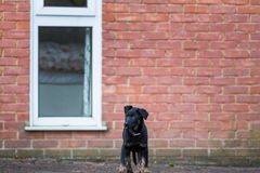Cute puppy standing in front of a brick wall Royalty Free Stock Photography