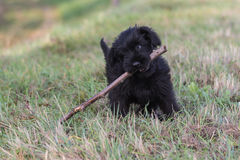 Cute puppy with stick in its mouth Royalty Free Stock Photo
