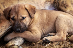 cute puppy taking rest Stock Photos