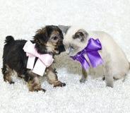 Cute Puppy Telling A Kitten Secrets Stock Image