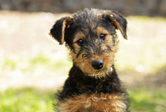 Cute puppy tilting head to side innocent expression. A very cute Airedale Terrier puppy is tilting his head to the side producing a very innocent and curious Stock Images