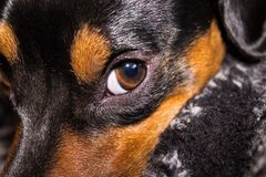 Cute puppy. Too cute close-up of an adorable puppy snuggled in a blanket Royalty Free Stock Images