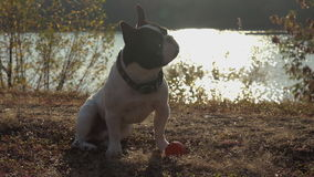 Cute puppy with toy outdoors. stock video footage