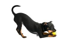 Cute puppy of toy-terrier Stock Image