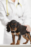 Cute Puppy at Veterinary Royalty Free Stock Photo