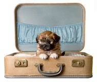 Cute puppy in a vintage suitcase Stock Image