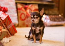 Cute puppy waiting on Santa. Cute tiny puppy waiting on Santa Claus next to the Christmas tree with colorful presents underneath Royalty Free Stock Images