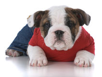 Cute puppy wearing clothing Royalty Free Stock Image