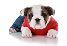 Cute puppy wearing clothing Royalty Free Stock Images
