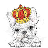 Cute puppy wearing a crown. French Bulldog. Royalty Free Stock Images