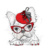 Cute puppy wearing a hat and sunglasses. French Bulldog. Stock Images