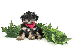 Cute Puppy Wearing a Red Hanky Royalty Free Stock Image