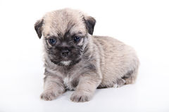 Cute puppy on white background Royalty Free Stock Images