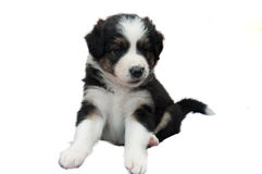 A cute puppy on a white background Royalty Free Stock Photos