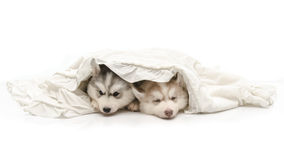Cute puppy with a white blanket Royalty Free Stock Photos