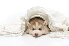 Cute puppy with a white blanket Stock Images