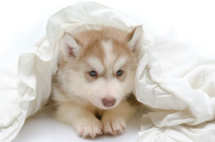 Cute puppy with a white blanket Stock Photography