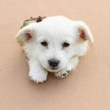 Cute puppy Royalty Free Stock Photos