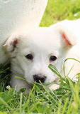 Cute puppy Royalty Free Stock Photography