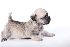 Cute puppy on white side. Shot of a Cute puppy on white side Royalty Free Stock Images