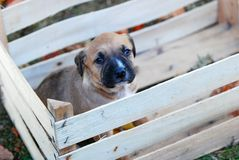Cute puppy in a wooden fruit crate royalty free stock photos