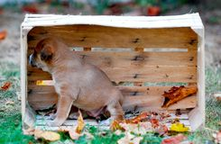 Cute puppy in a wooden fruit crate royalty free stock image