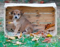 Cute puppy in a wooden fruit crate stock image
