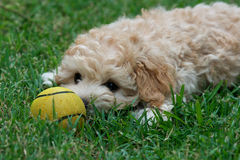 Cute puppy with Yellow Ball Royalty Free Stock Photo