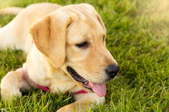 Cute puppy of yellow labrador laying down in the park Stock Image