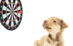 Cute puppyand darts Stock Photography