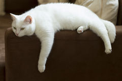 Cute pure white cat resting on a sofa. Royalty Free Stock Image