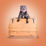 Cute purebred blue staffy dog posing on wooden box Stock Photos