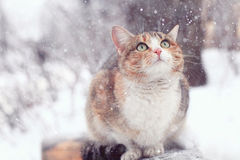 Cute purebred cat Royalty Free Stock Image