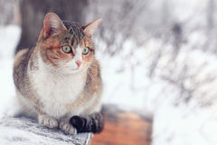 Cute purebred cat Royalty Free Stock Images