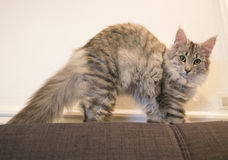 Cute purebred cat on sofa Royalty Free Stock Photography