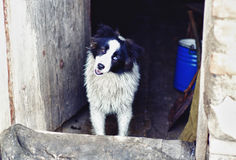 Cute dog with different colored eyes. Cute purebred dog with different colored eyes in the hall of village house Royalty Free Stock Images