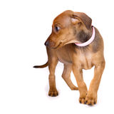 Cute purebred German Pinscher Puppy Royalty Free Stock Photo